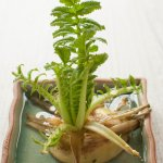 Growing daikon leaves from the tip of daikon.