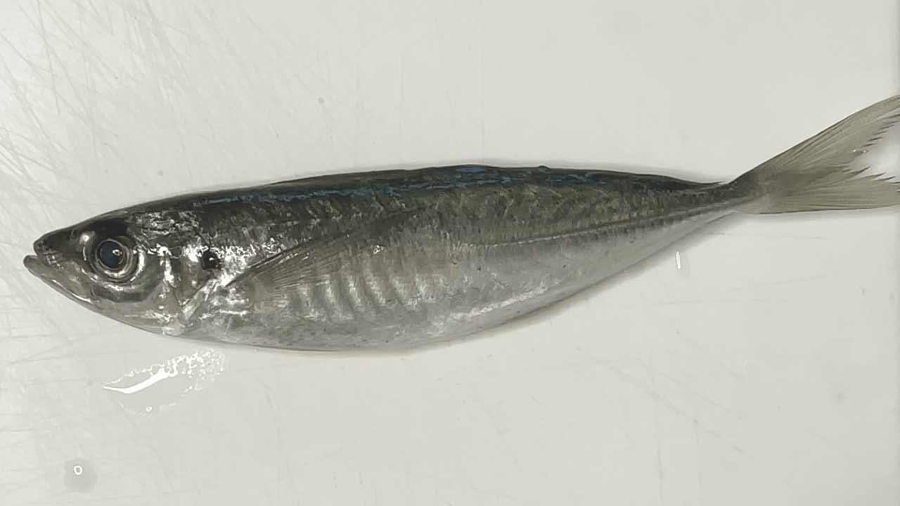 Fresh horse mackerel.